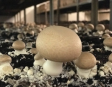 Checkweighing Solution for Local Organic Mushroom Factory